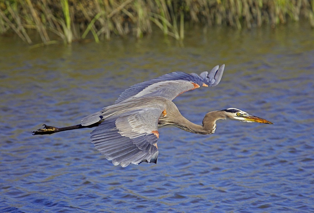 Photograph Blue Heron in Flight by James Hilliard on 500px