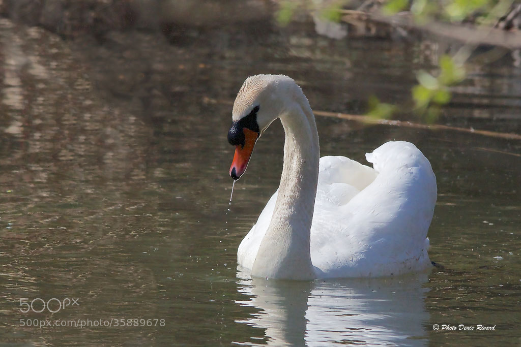 Photograph Mute Swan by Denis Rivard on 500px