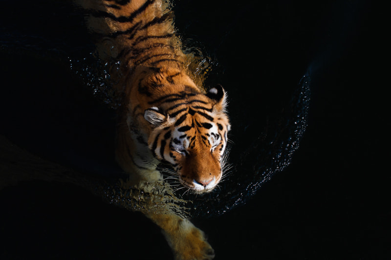 Photograph Swimming tiger by Ales Gola on 500px