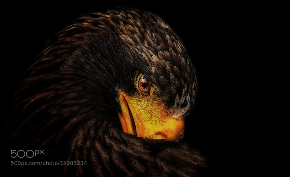 "Photograph ""EAGLE"" by Johnny Brambach on 500px"