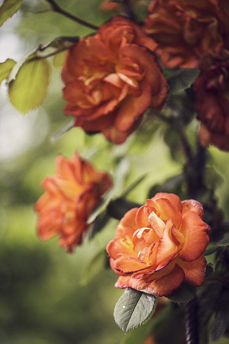 Photograph Bicolor roses by Pierre de Izarra on 500px