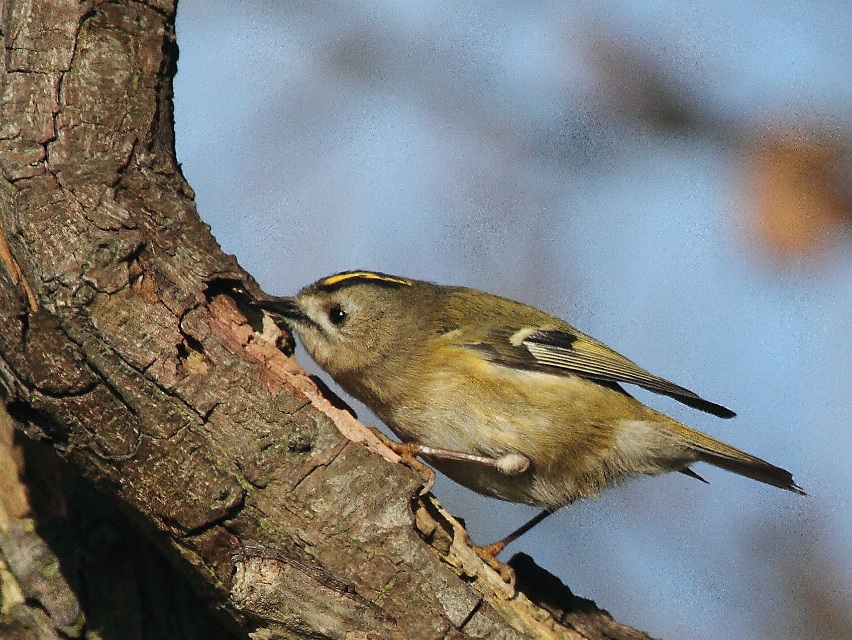 Photograph Goldcrest bird by Steve Adams on 500px