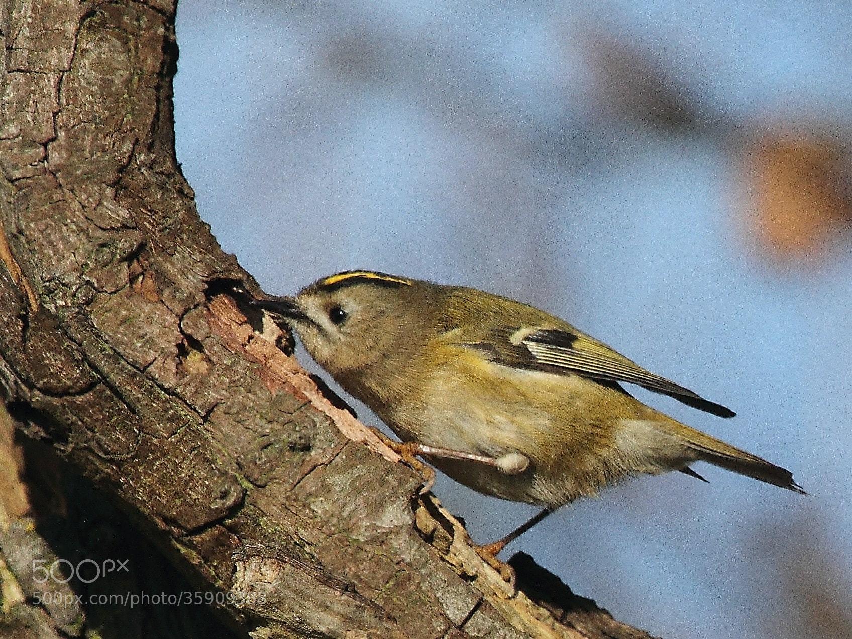 Photograph Goldcrest bird by Steve Adams on 500px