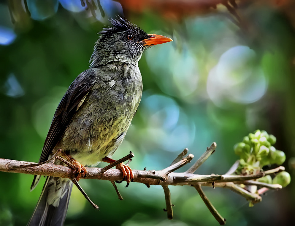 Photograph Seychelles Bulbul by Klaus Wiese on 500px