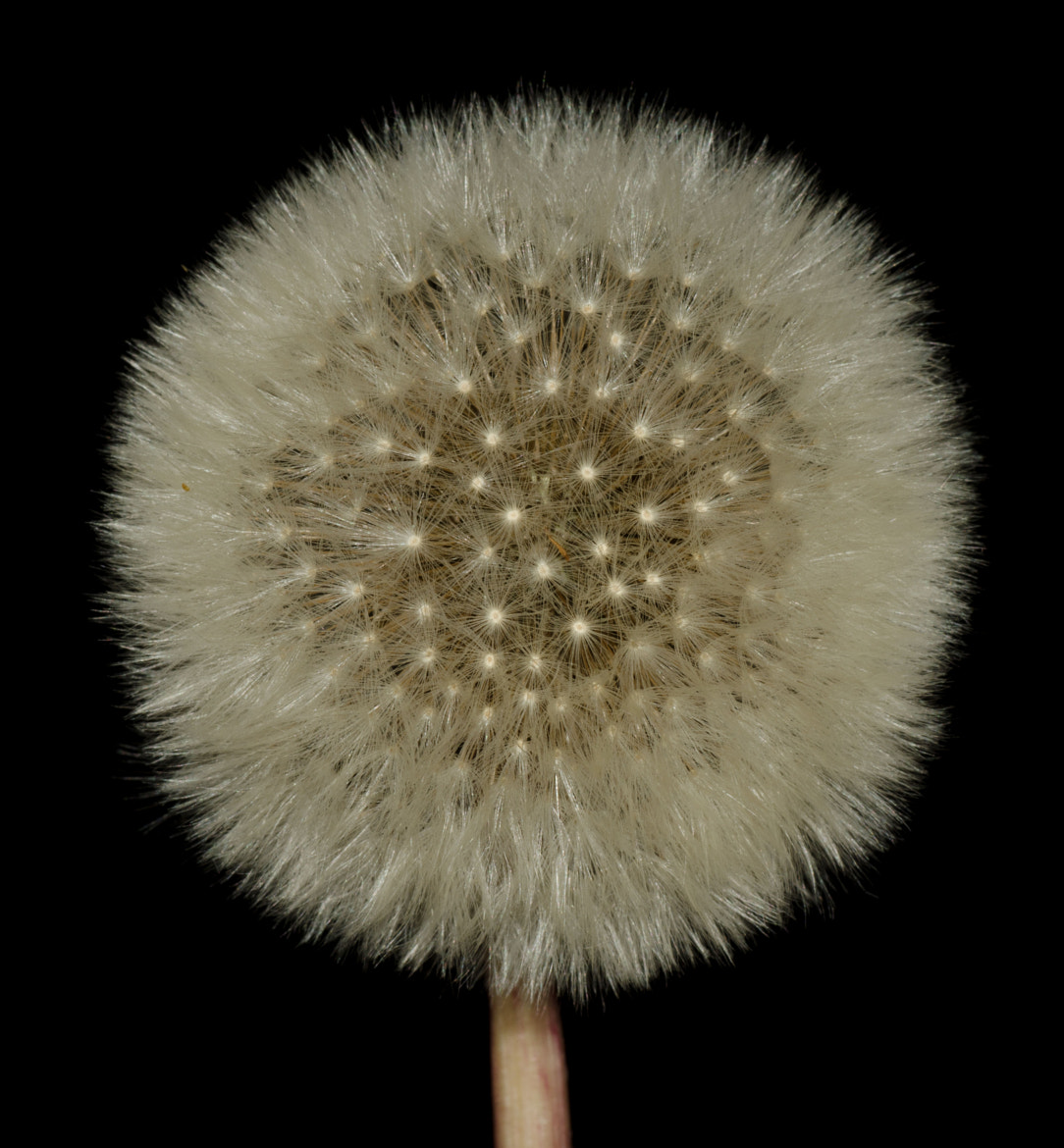 Photograph Dandelion by Richard Hawley on 500px