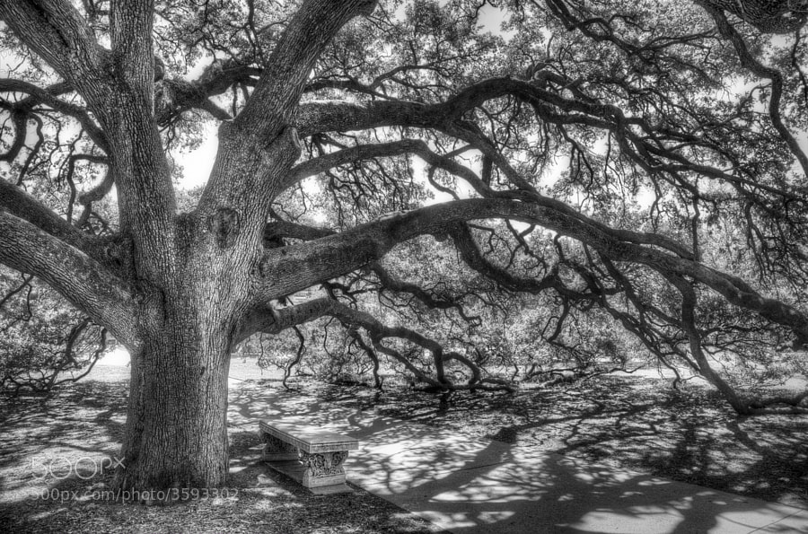 The Century Oak, located in the heart of Texas A&M Univeristy campus, is a place that holds a special place in the heart of many Aggies. Well over 100 years old, the tree, a live oak, was one of the first trees planted on the massive 5,200-acre campus. The tree has been the site of numerous marriage proposals, weddings and tourist snapshots because of its immense size and its unique drooping branches, many of which rest on the ground.  You can purchase this photo here http://fineartamerica.com/featured/the-century-oak-scott-norris.html.