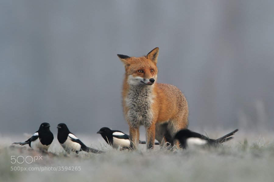 Photograph crazy fox by Marcin Nawrocki on 500px
