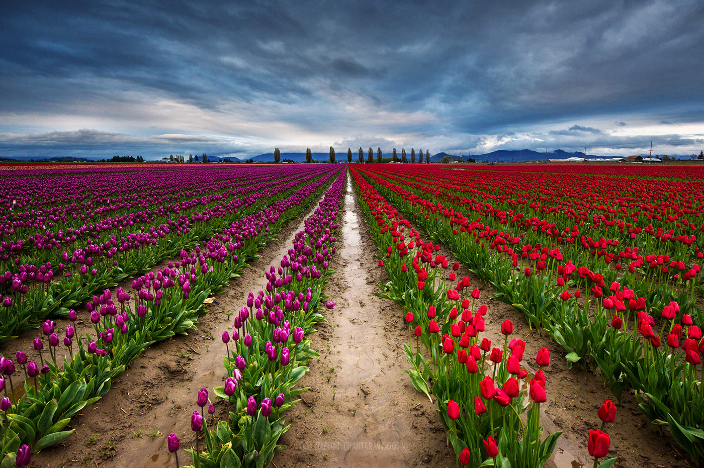 Photograph Tulip Field by Nae Chantaravisoot on 500px