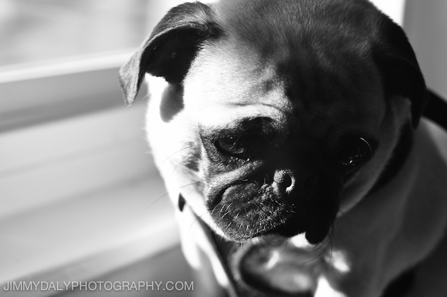 Photograph Gracie the Pug by Jimmy Daly on 500px