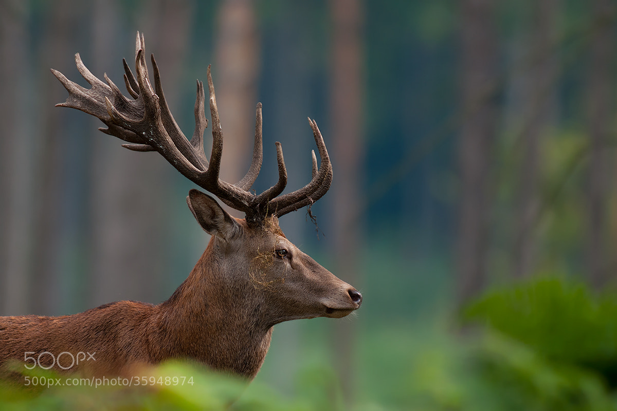 Photograph Stags Profile by Rob Janné on 500px