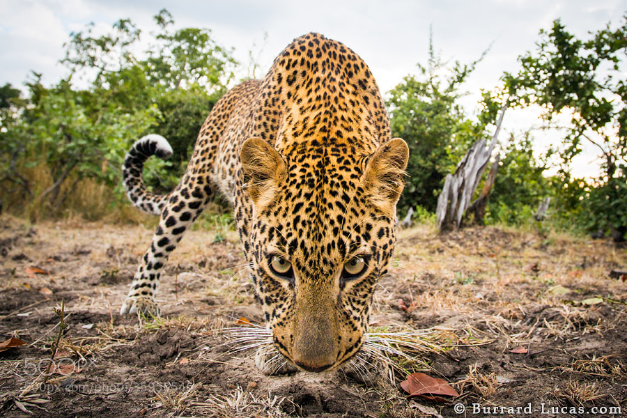 """A young leopard checking out <a href=""""https://www.facebook.com/BeetleCam"""">BeetleCam</a>. South Luangwa, Zambia."""