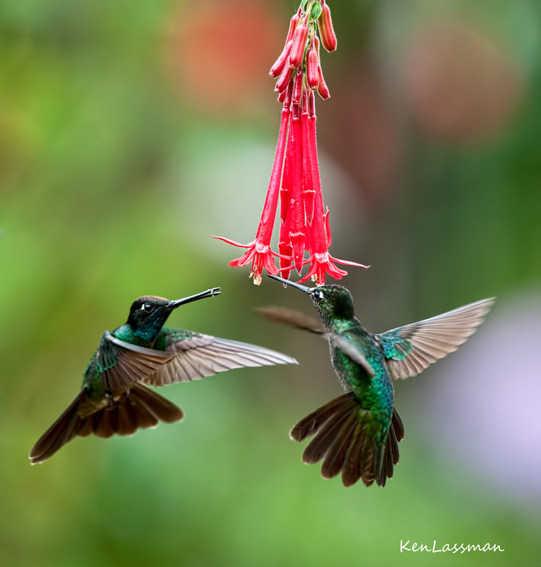 Another image from Costa Rica...difficult getting one Hummingbird....a lot of luck getting two