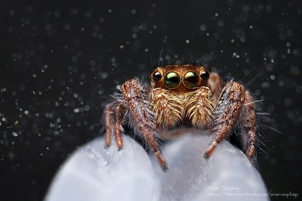 Photograph Jumping spider by Anan Suphap on 500px