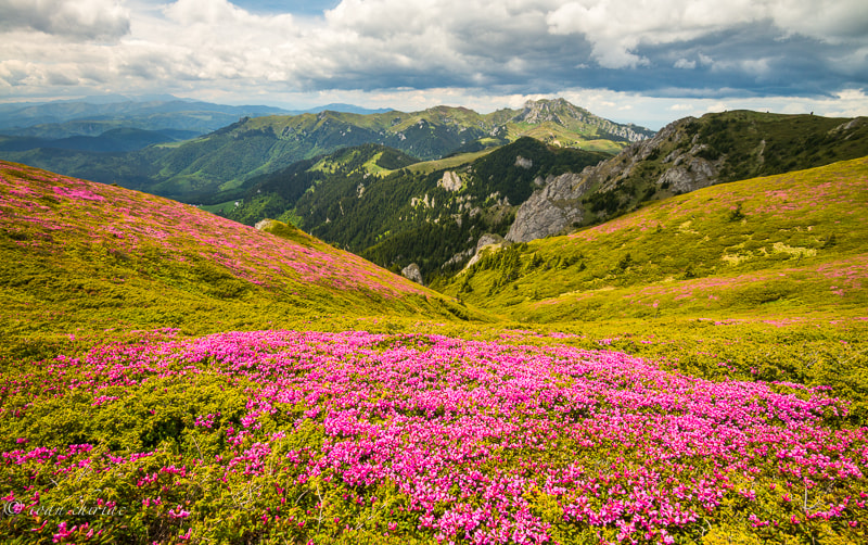 Photograph Rhododendron by Ioan Chiriac on 500px
