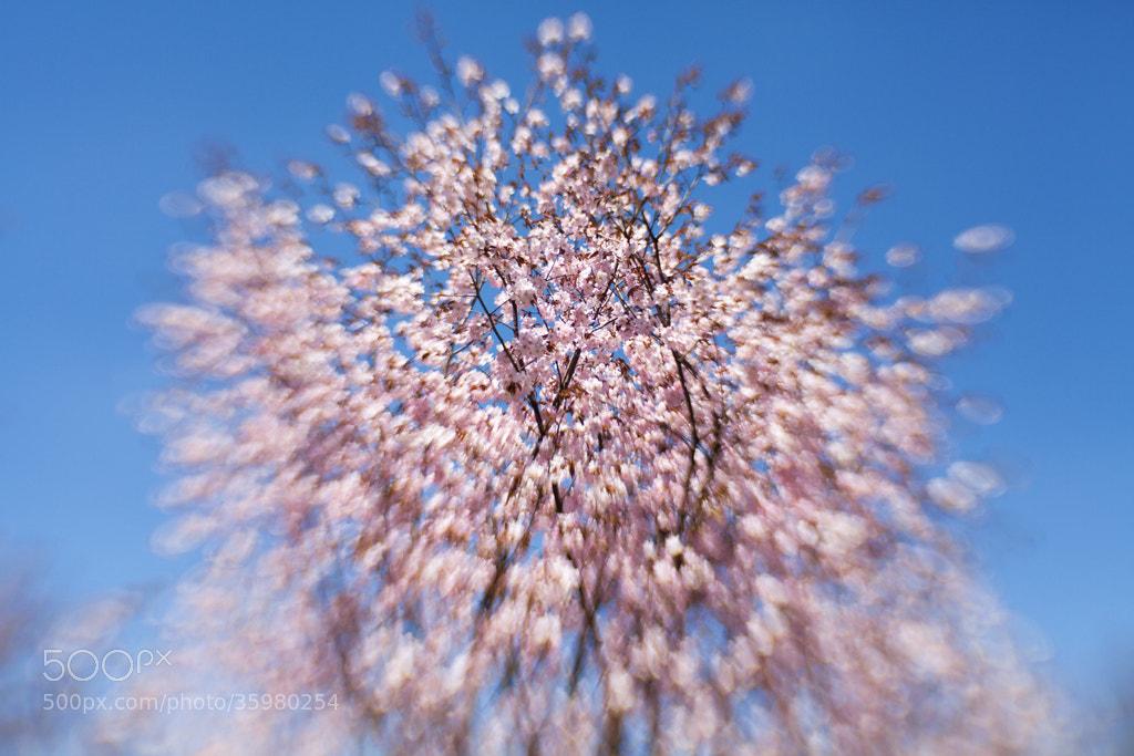 Photograph sakura by Dara Pilyugina on 500px