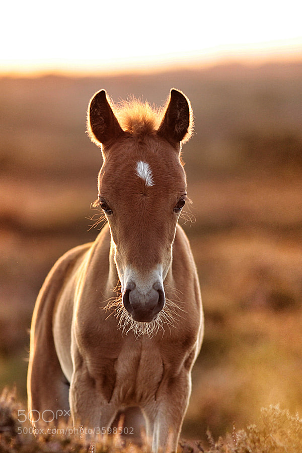 Photograph golden foal by Lee Crawley  on 500px