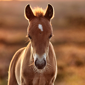 golden foal by Lee Crawley  (felt_tip_felon)) on 500px.com