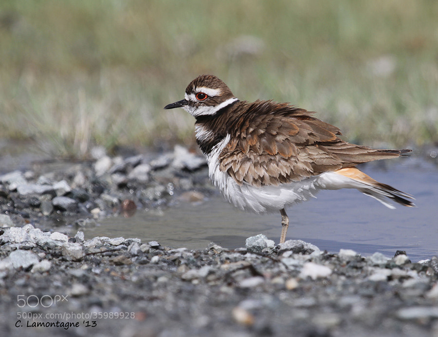 A Killdeer taking a bath in a puddle in my yard.