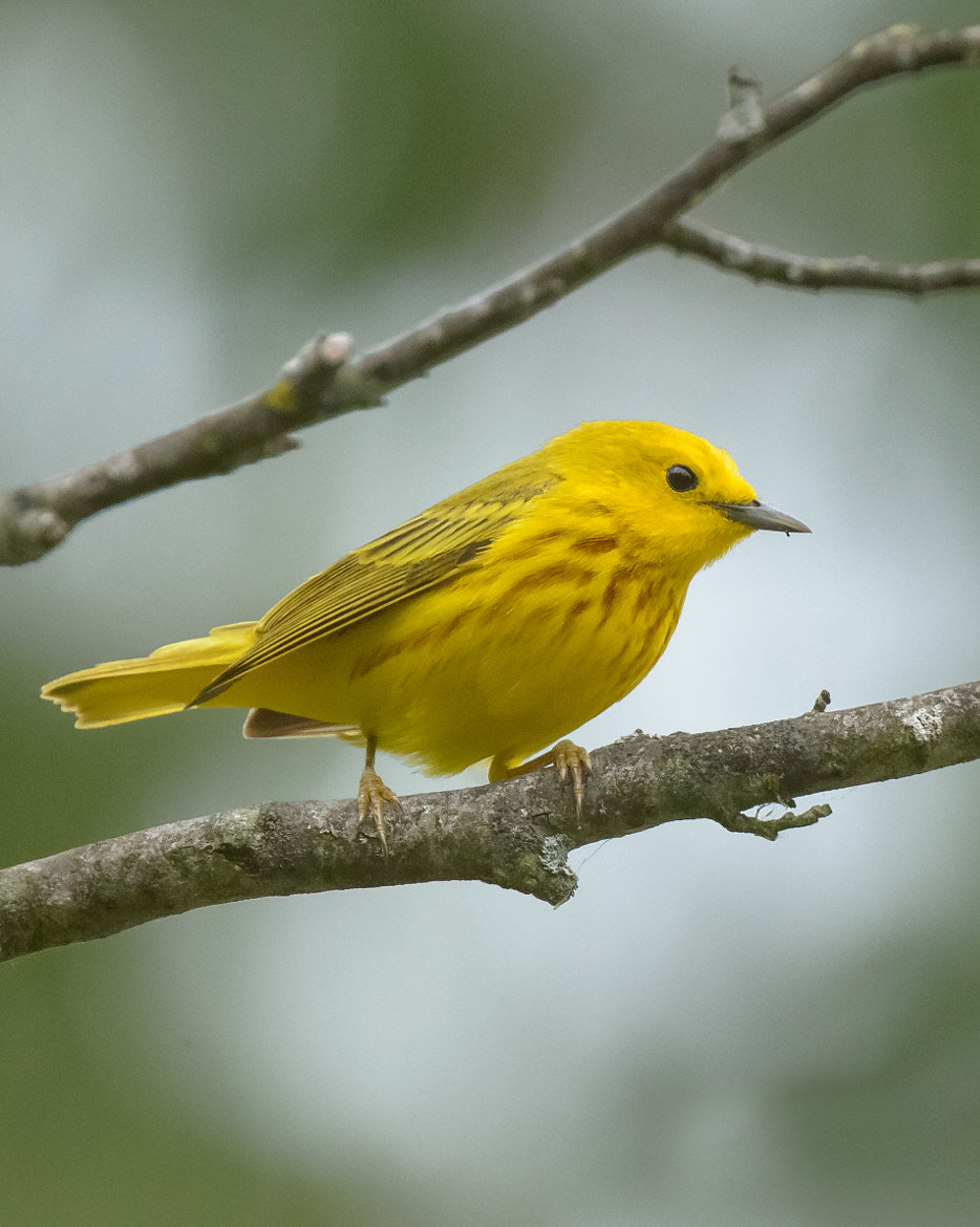 Photograph Yellow Warbler by Steven Kersting on 500px