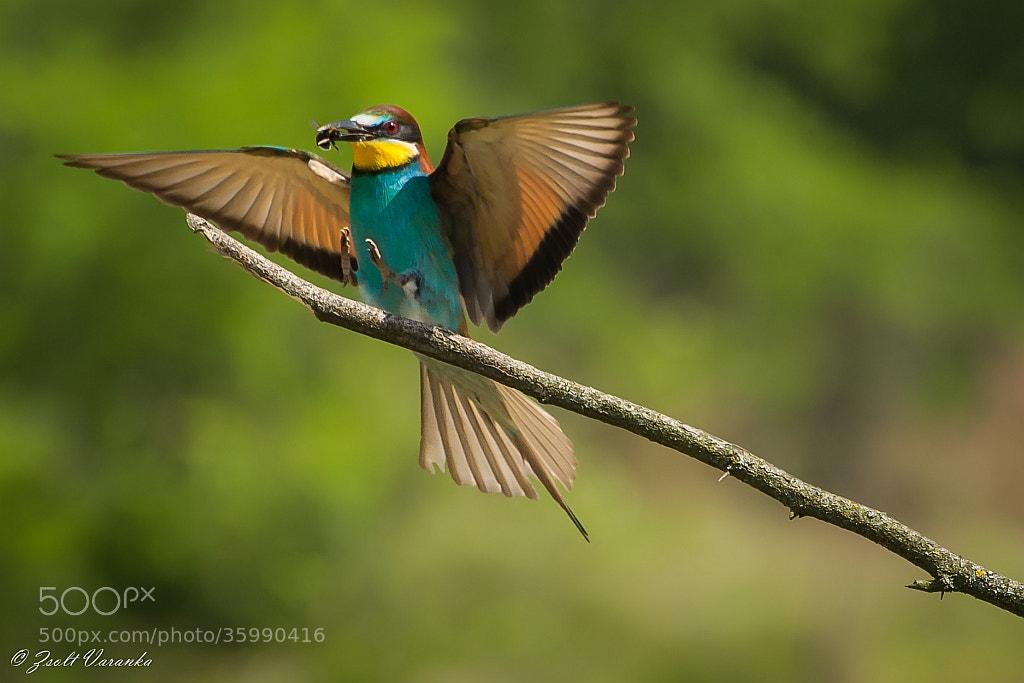 Photograph ...landing (Bee-eater) by Zsolt Varanka on 500px