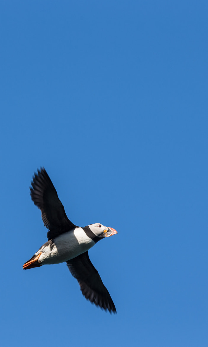Photograph Soaring Puffin by Lee Crawley  on 500px
