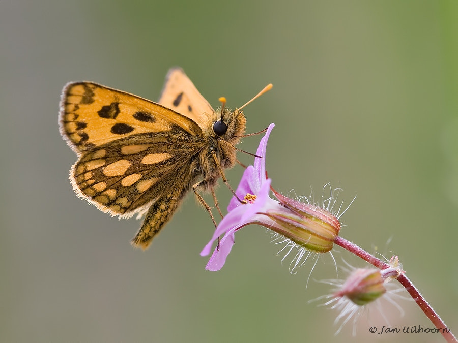 Photograph Northern Chequered Skipper by Jan Uilhoorn on 500px
