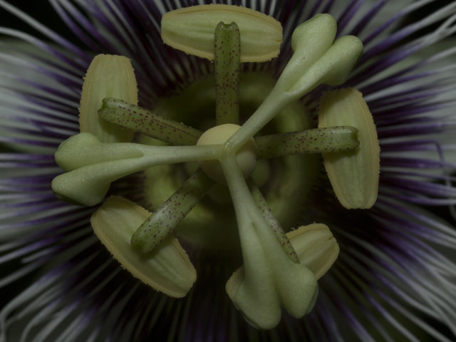 Photograph Passion Flower Detail by martin spragg on 500px