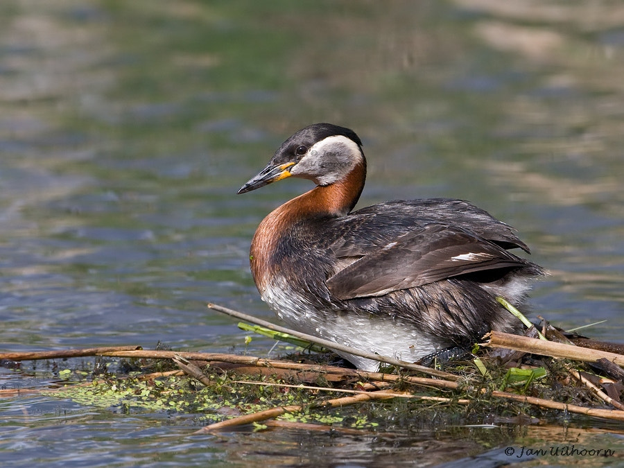 Photograph Red-necked Grebe by Jan Uilhoorn on 500px