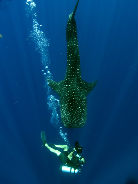 Photograph Diver and whaleshark by martin spragg on 500px