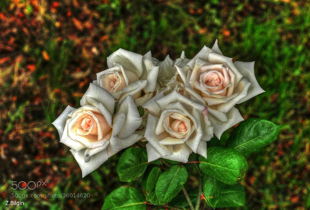 Photograph roses.... by Zeki Bilgin on 500px