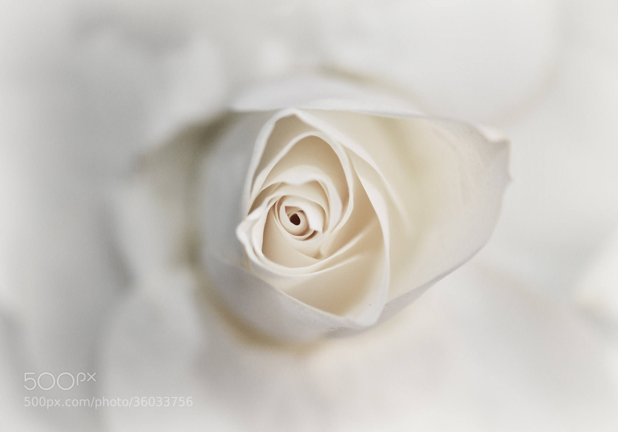 Photograph white beauty by Maryam Essa on 500px
