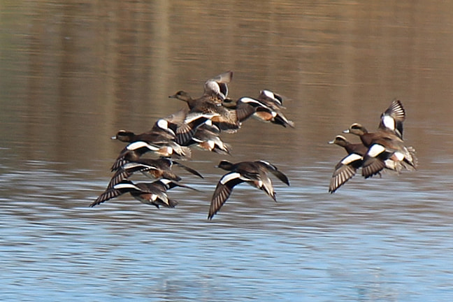 Photograph American wigeon in flight by Kelly Lenihan on 500px