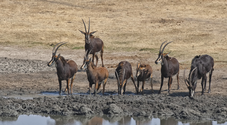 A nice Herd of Sable take a drink at Kennedy 2 waterhole, Hwange National Park, Zimbabwe