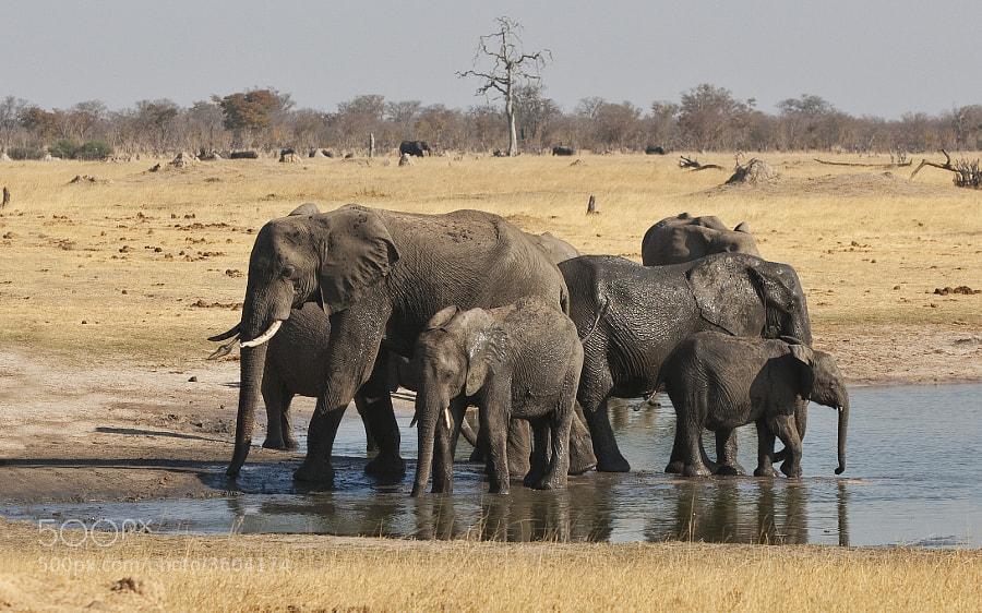 A small group of Elephant slake their thirst at Ngweshla waterhole, Hwange National Park, Zimbabwe