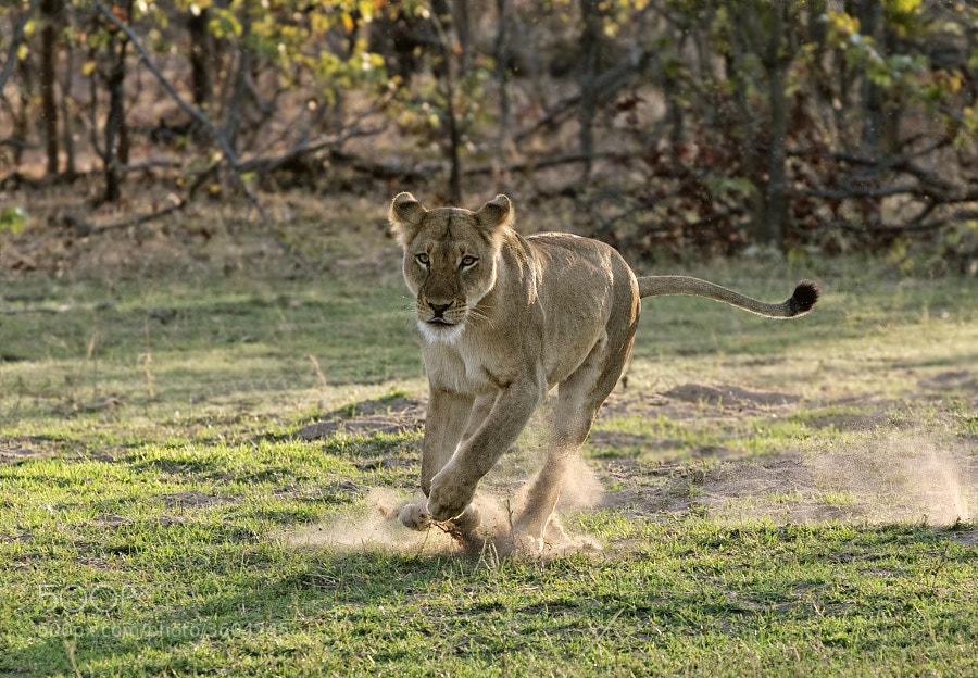 This Lioness seems to have something in mind?  Taken on the shores of Lake Kariba, Matusadona National Park, Zimbabwe