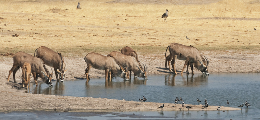 A Herd of Roan Antelope, a rare sighting for me, drink at Ngweshla Waterhole, Hwange National Park, Zimbabwe