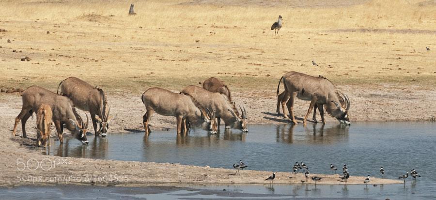 A Herd of Roan Antelope, a rare sighting for me, drink at Ngweshla Waterhole, Hwange National Park, Zimbabwe