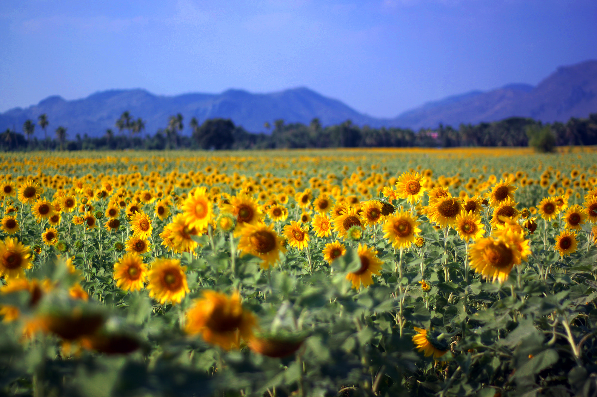 Photograph Sun flowers field. by Puchong Pannoi on 500px