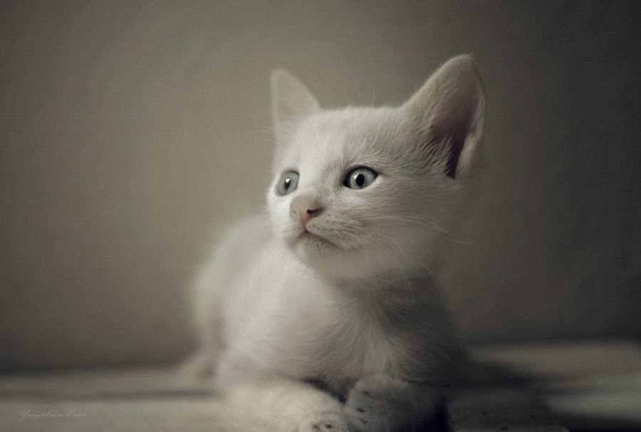 Photograph Cat by yavuzselimturan  on 500px