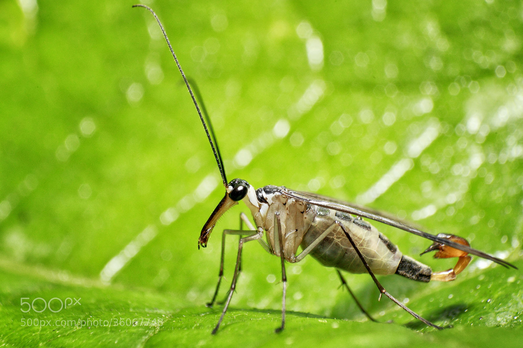 Photograph Scorpion Fly by ainx yodi on 500px