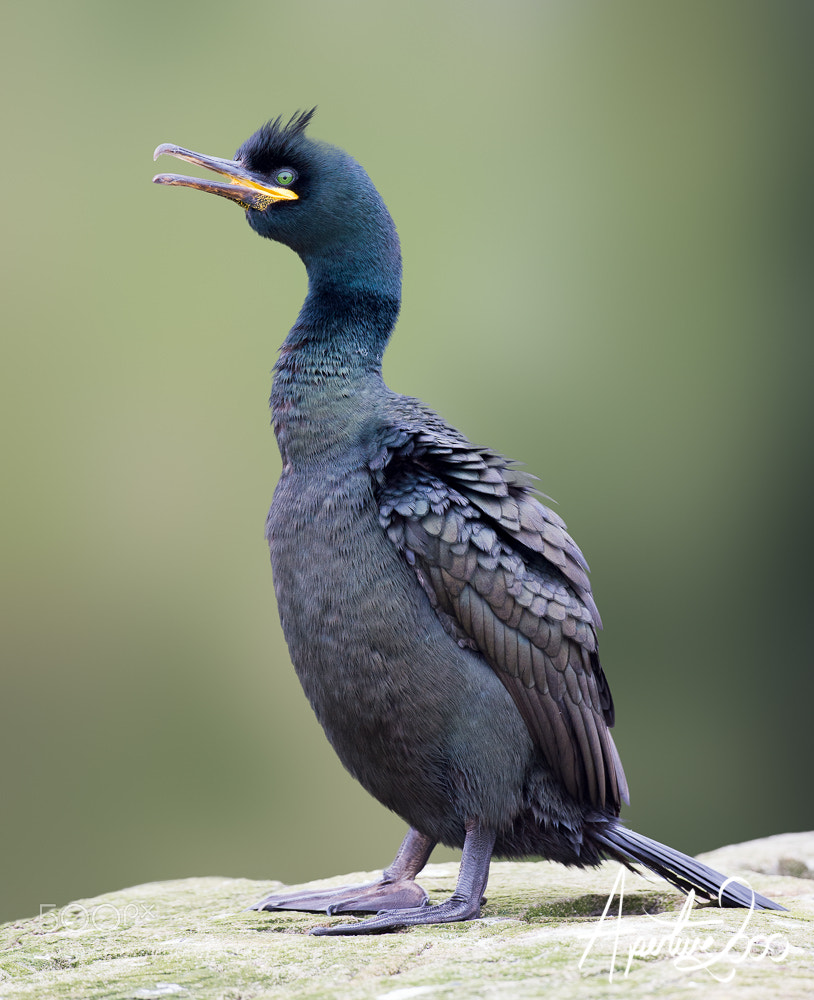 Photograph Male Shag, Farne Islands by Colin Carter on 500px