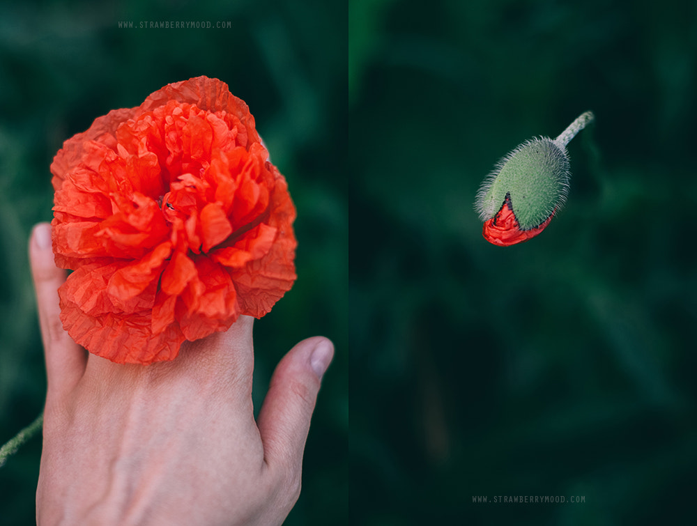 Photograph When you touch a poppy you touch a magic  by Julia Krasovskaya on 500px
