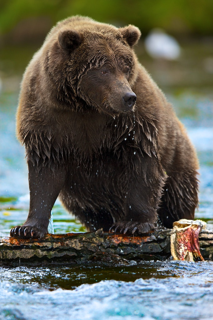 Photograph Bear's In Anchorage by Buck Shreck on 500px