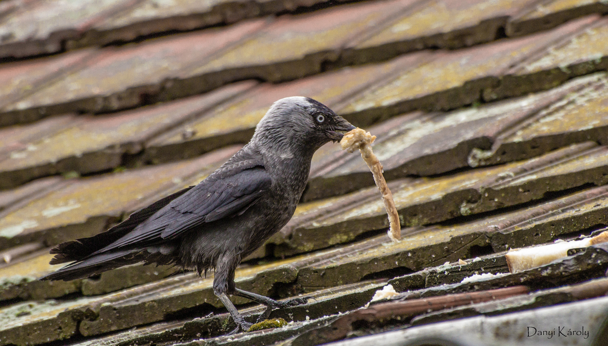 Photograph Jackdaw by Károly Danyi on 500px