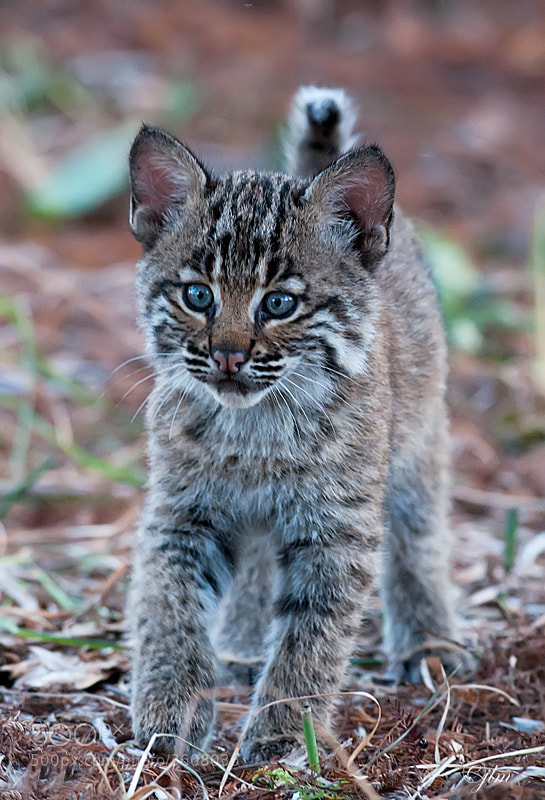 This little baby bobcat came in so close that I almost lost him in the frame.  I had a 300 mm lens with me and the folowing day I took the 70 to 200 mm as it was much more versatile.  The mother has relocated them and they have not been seen for a few days.  We are all praying that they are safe.  It definitely was a day I will never forget