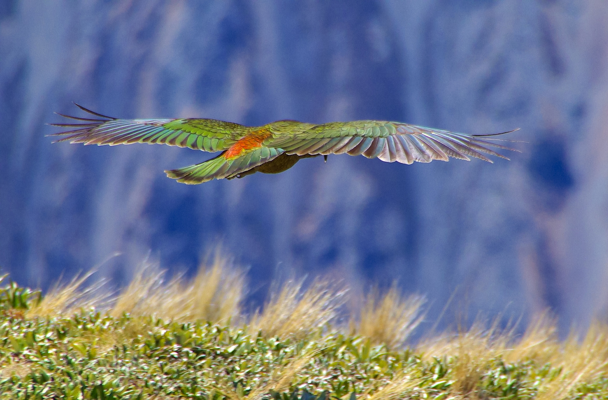 Photograph Kea Mountain Parrott by Matthew Weinel on 500px