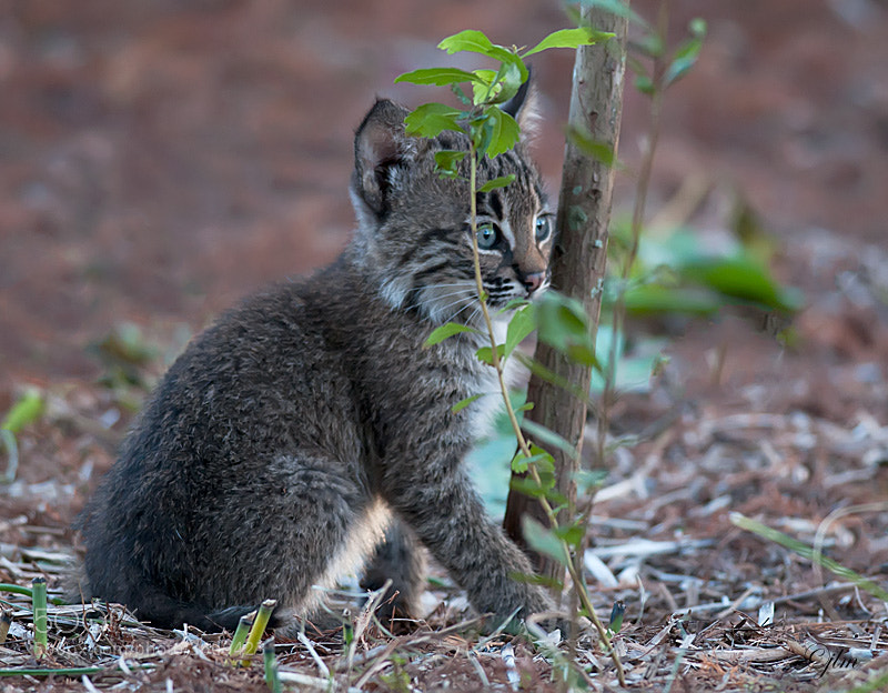 The little bobcat kittens were so much fun to watch and they really captured the humor in life.  I can not help but smile everytime I look at this image.   They are so innocent and so happy !!!!   I love them.