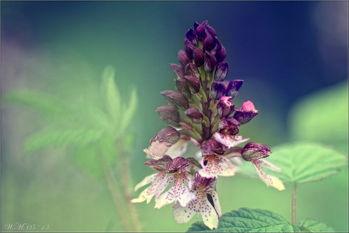 Photograph Orchis purpurea by Wil Mijer on 500px