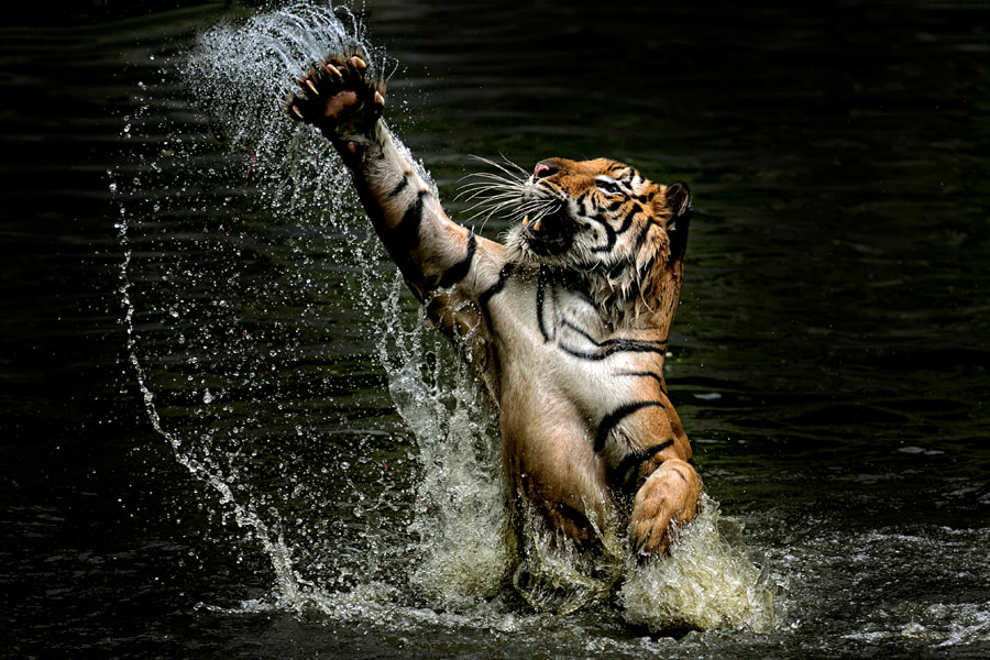 Photograph Tiger C L A W S by yudi lim on 500px