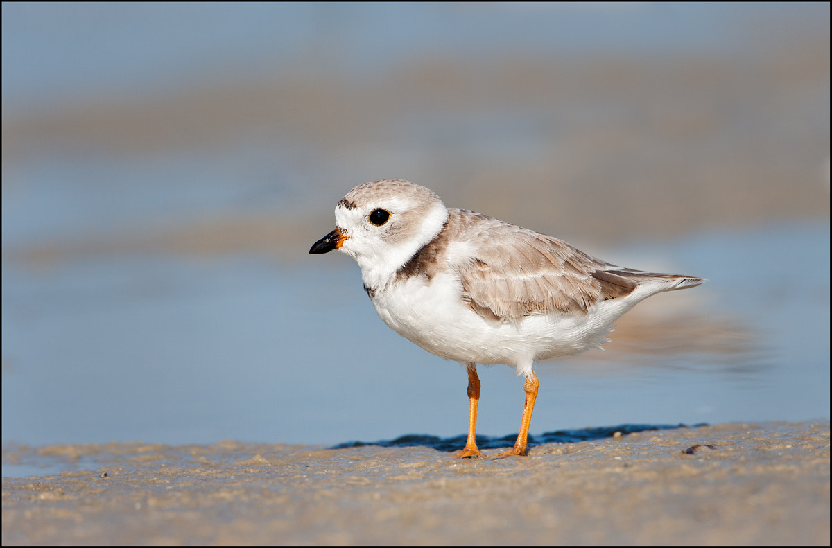 Photograph Pipping Plover by Don Lacy on 500px